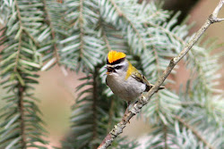 Singing Firecrest