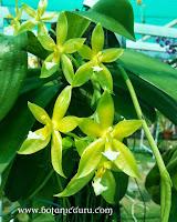 Phalaenopsis x valentinii