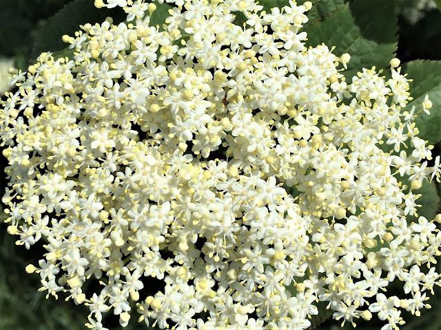 weiss blühende und fein duftende Holunderblütendolden