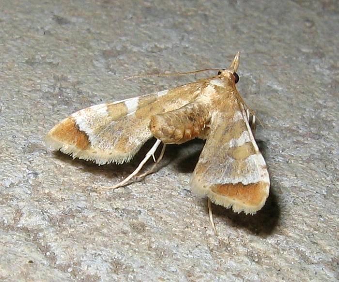 Esperance Fauna: Eggfruit Caterpillar Moth - Sceliodes cordalis
