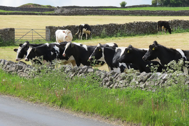 A group of cows lined up behind a dry stone wall and looking into a lane.