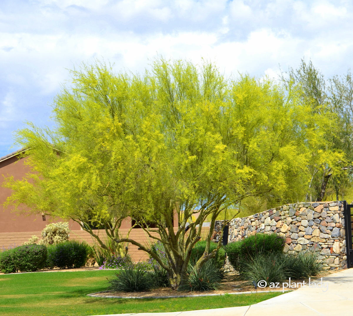 Learn About The Desert S Iconic Tree The Palo Verde