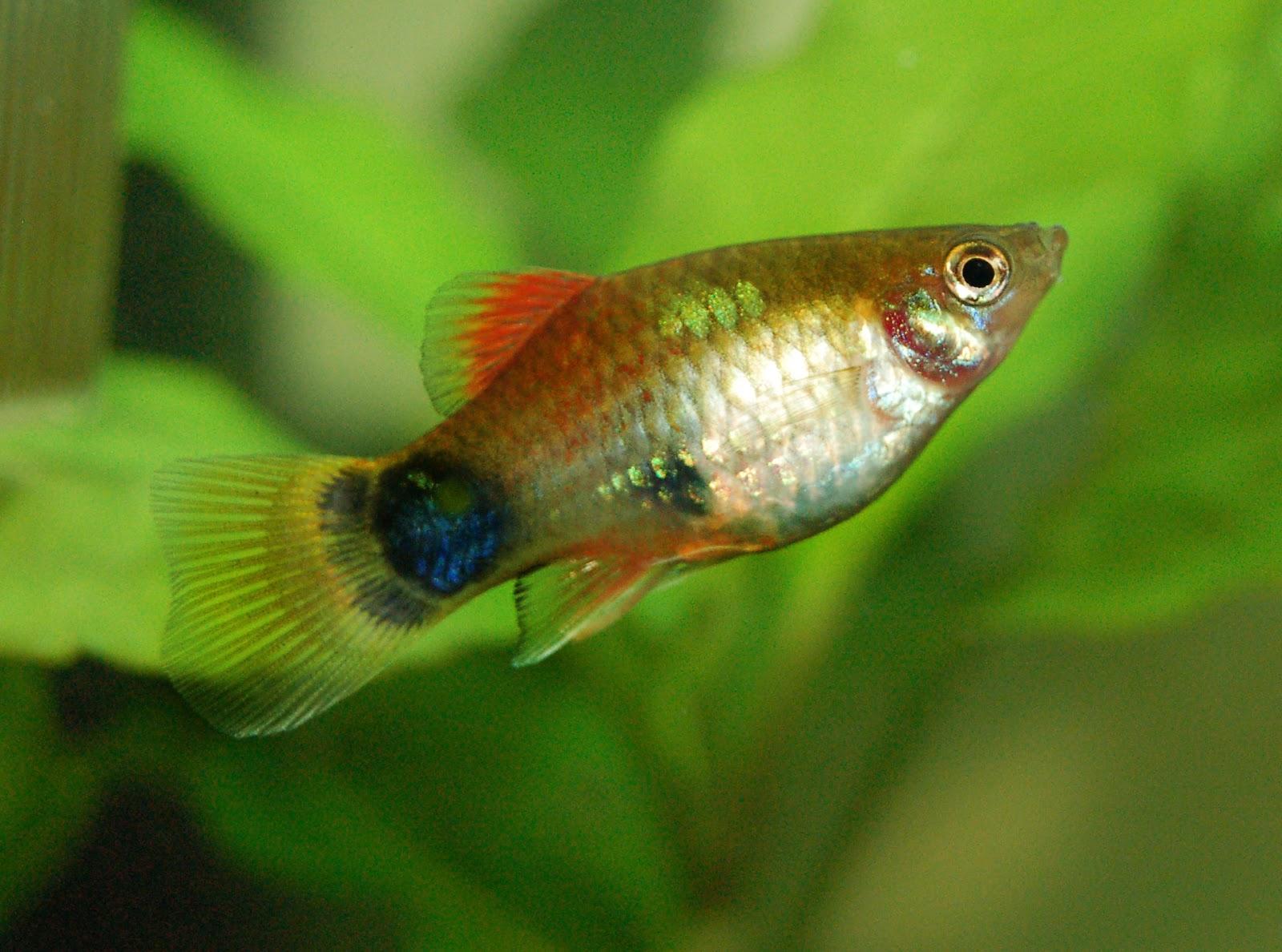 Mickey Mouse Platy Fish - Fish Habitat And Ecology