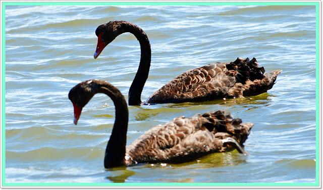 birds australia