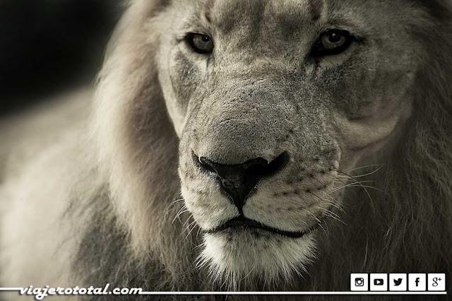 Safari en África - León