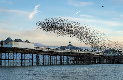 Starling murmuration or flock