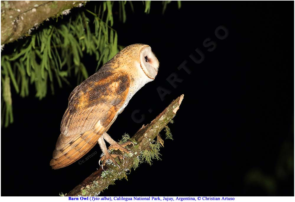 Christian Artuso: Birds, Wildlife - photo#32