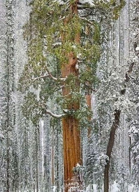 أشجار سيكويا في ولاية كاليفورنيا الأمريكية