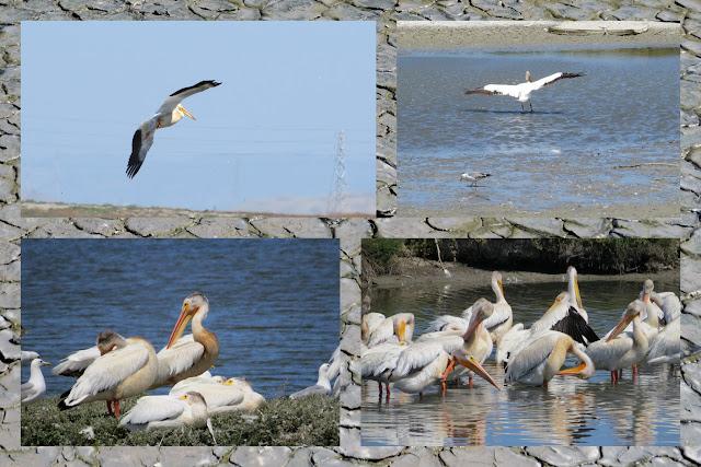 Birding in Palo Alto California - pelicans