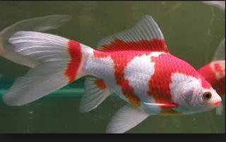 Jenis Ikan Hias Air Tawar  Aquarium komet