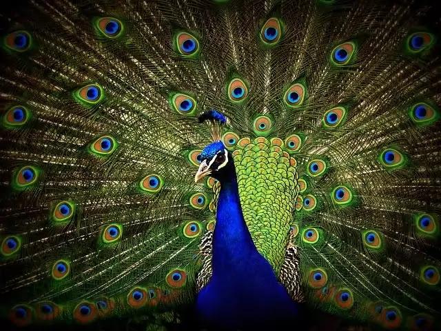 Peacock-HD-Photo