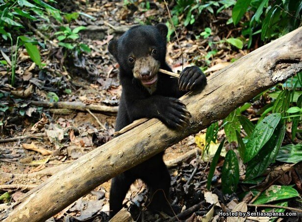 Bornean Sun Bear Conservation Centre
