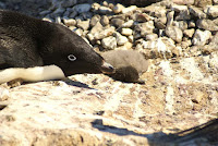 One of the many dead Adélie penguin chicks found on Petrels Island in the Antarctica. (Photograph Credit: Y Ropert-Coudert/CNRS/IPEV) Click to Enlarge.