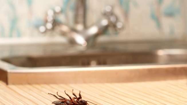 10 Cara Ampuh Mengusir Kecoa di Rumah