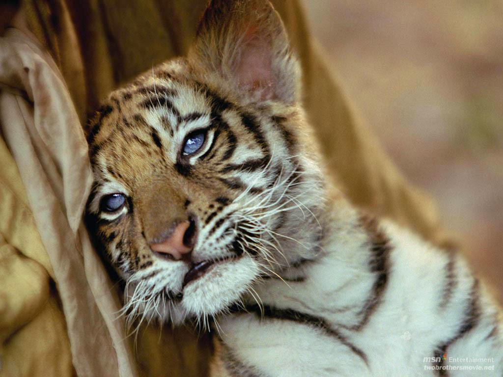 25 Gambar Harimau Yang Lucu Sealkazz Blog