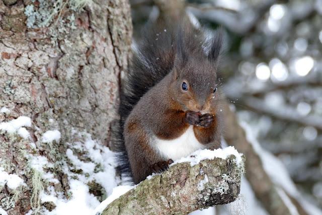 Eichhörnchen, Haselnuss, Winter, fressen, knabbern, Eichhörnchenweg, Eichhörnliweg, Arosa, Baum