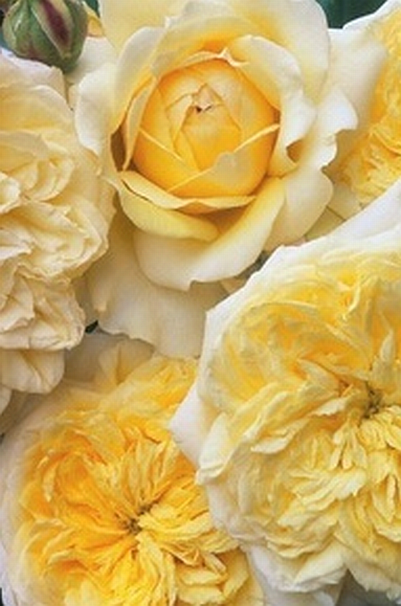 awesome yellow roses