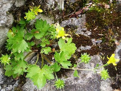 Abrepuños (Ranunculus muricatus)