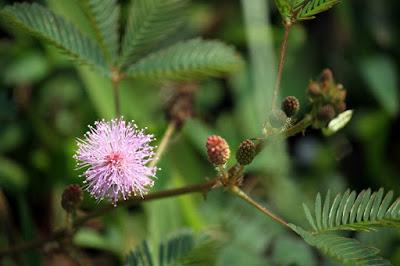 Bunga dan Daun Putri Malu sebagai pewarna alami batik