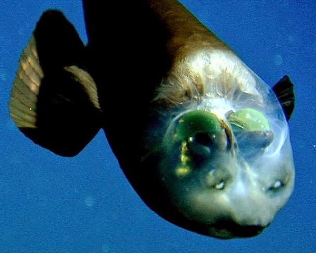 Barreleye – Ikan Berkepala Transparan Barreleye – Ikan Berkepala Transparan 001