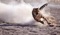Çita hayvanı hızla koşarken