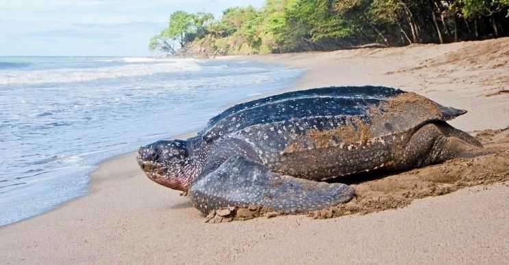 Deri sırtlı deniz kaplumbağası, 3 metreye kadar uzayabilir ve 600 kilogram ağırlığa erişebilir.