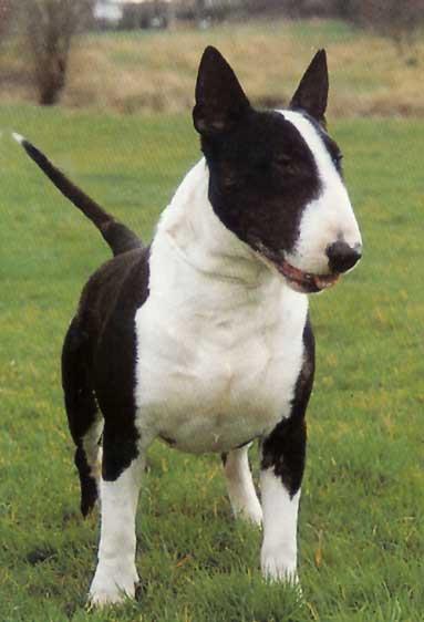 El carácter del Bull Terrier, la verdad al descubierto