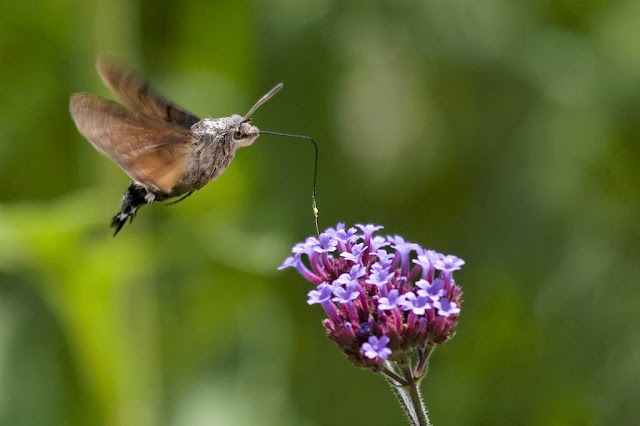 Hummingbird Imposters  Missouri Department of Conservation
