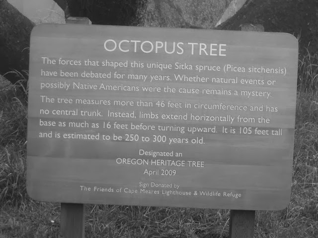 Octopus Tree oregon A.S