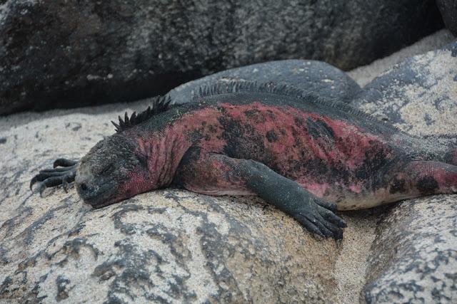 Punta Suarez Iguana