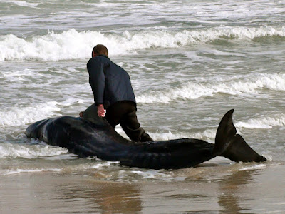 pilot whales strands in rough surf
