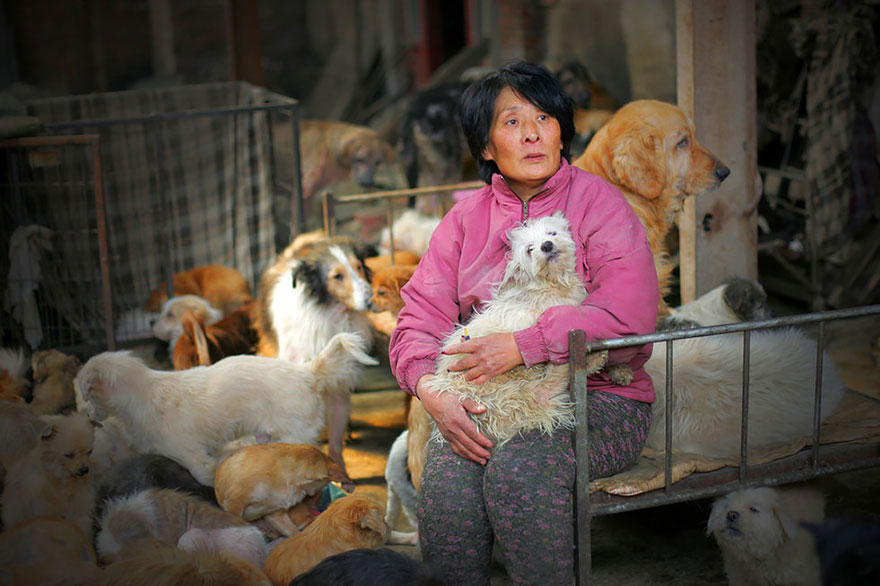 Yang decided to travel 1,500 miles to Yulin and spent 7,000 yuan ($1,100) to rescue 100 dogs from being slaughtered - Chinese Woman Travels 1,500 Miles And Pays $1,100 To Save 100 Dogs From Chinese Dog-Eating Festival