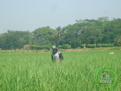 FOTO 1 : Pemupukan Kedua Tanaman padi NAZWA 39 HST di Sawah Rawa