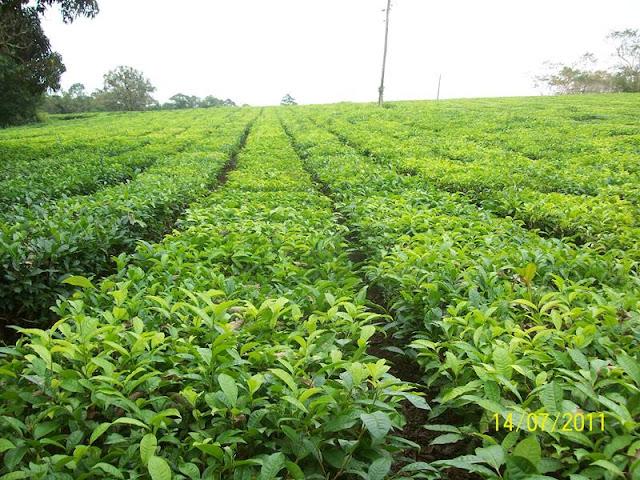 Plantação de Chá em Registro-SP