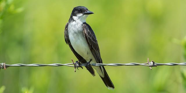 Eastern Kingbird, Anahuac National Wildlife Refuge
