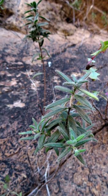 Micromeria leucantha