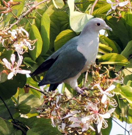 Birds of India - Photo of Nilgiri imperial pigeon - Ducula cuprea