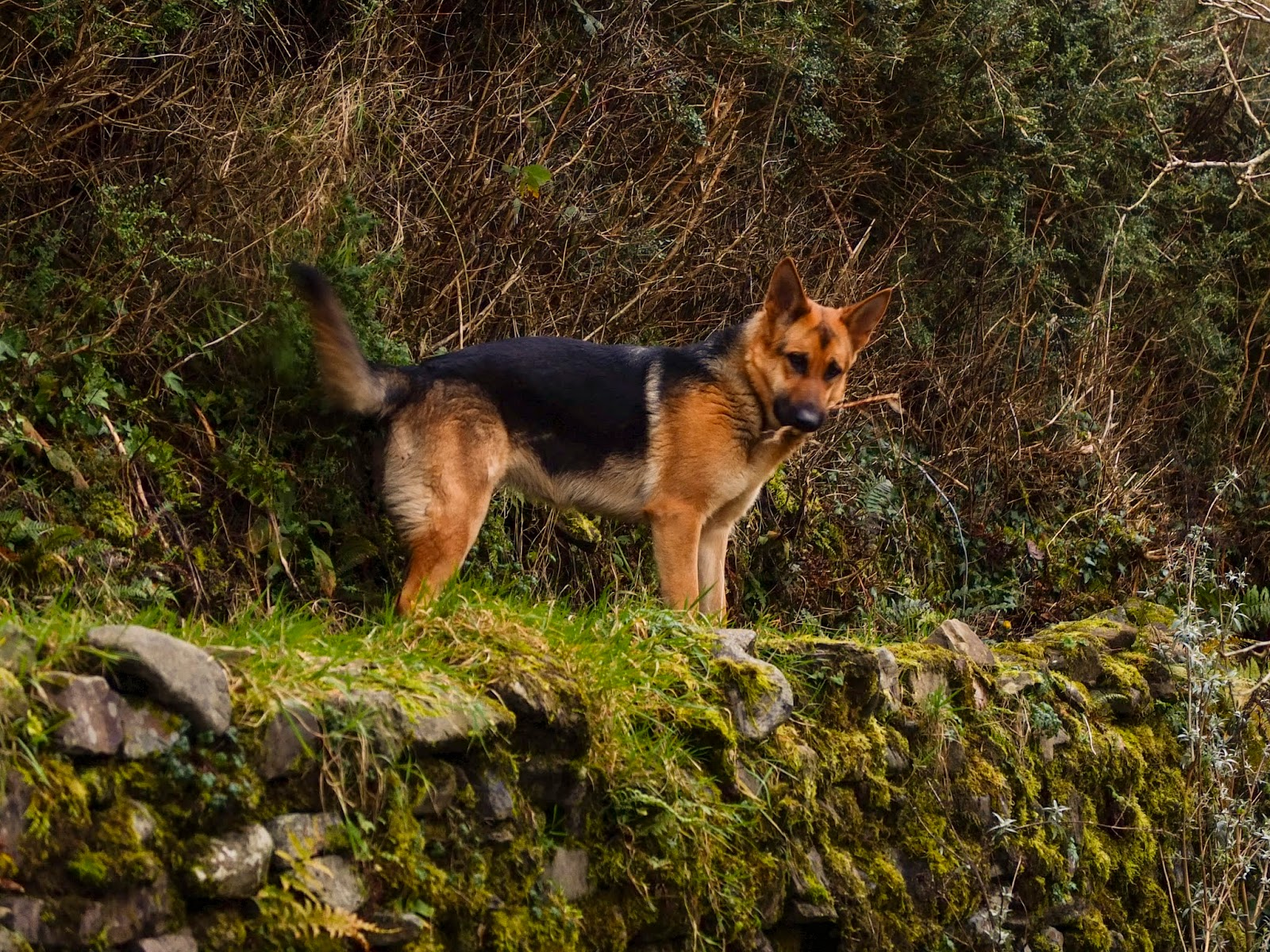 German Shepherd Nala holding a stick on top of a stone wall.