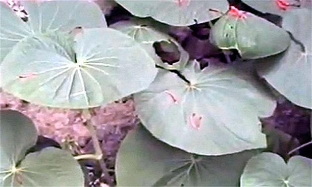 Pariparoba (Piper umbellatum, Piper hilarianum, Piper macrophyllum)