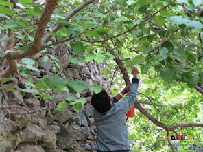 Abhishek collecting some apricots