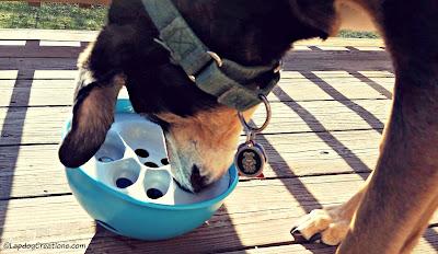 Teutul gets his PAW5 Rock 'N Bowl rockin' & rollin'! #dogbowl #rescueddog #seniordog #LapdogCreations ©LapdogCreations #sponsored