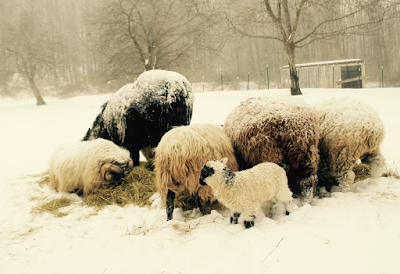 Sheep in the winter