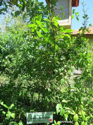 Jasminum simplicifolium, wax jasmine