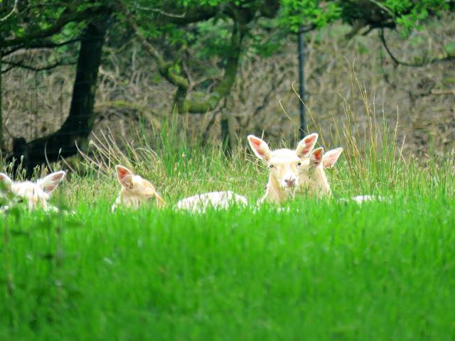 Parkanaur Forest Park White Fallow Deer