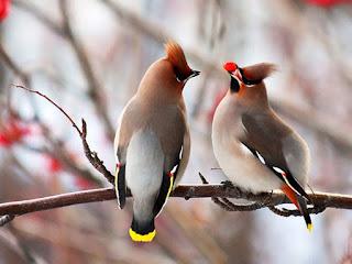 A foto mostra com fundo claro desfocado, dois pássaros empoleirados em um galho seco, à esquerda, um de costas e à direita, de perfil. Os dois, encaram-se, o da direita retém no bico um pequeno fruto vermelho redondo, como se oferecesse ao amigo. As aves de pequeno porte são da espécie Picoteiro-americano (Bombycilla cedrorum). O Picoteiro-americano tem plumagem fina e densa em marrom pálido no peito e dorso, e branco no abdômen; possui uma crista de cor marrom oliva e uma mascara facial preta com algumas manchinhas vermelhas próximas aos olhos e bico preto curto. Ele possui uma cor amarela brilhante na ponta da cauda e algumas de suas penas da asa possuem um apêndice vermelho com pinceladas em branco.