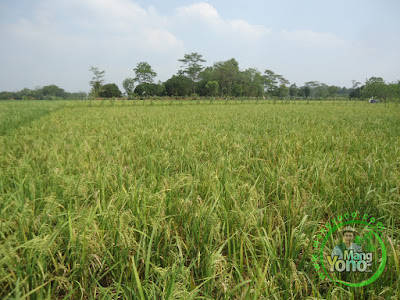 FOTO 3 :   Tanaman Padi TRISAKTI 63 HST MT2 Sudah Matang Adonan  di Sawah Tegalsungsang BB