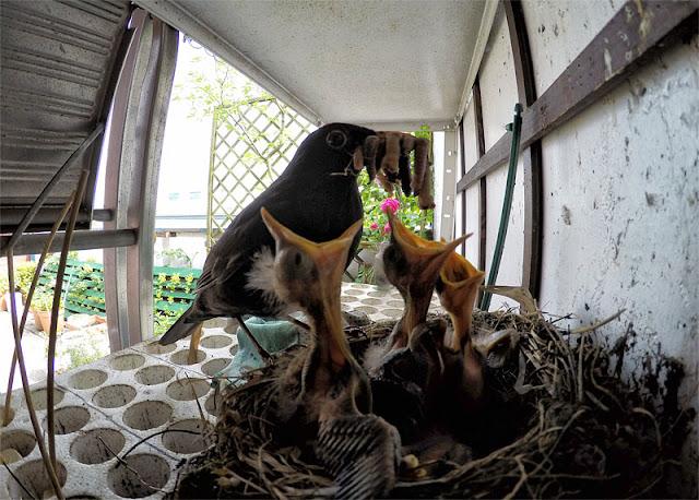 Blackbird feed blackbird chicks - kosovka hrani mlade kose od blizu