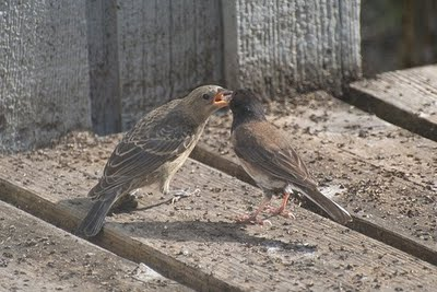 brown headed cowbird and songbird relationship counseling