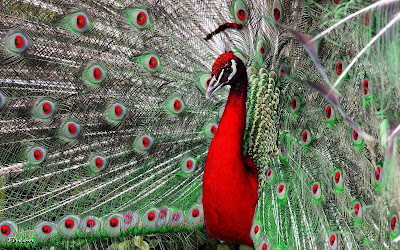 Red-neck-peacock-images-hd-walls