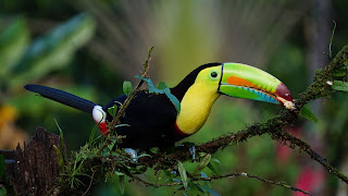 keel changed toucan,20 most beautiful birds in the world